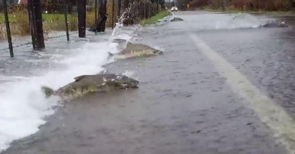Những chú cá quyết tâm vượt qua đường
