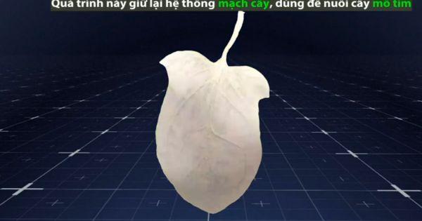 Kỹ thuật nuôi cấy mô tim từ rau cải bó xôi