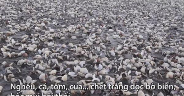 Gần 300 tấn nghêu chết trắng bờ biển Kiên Giang