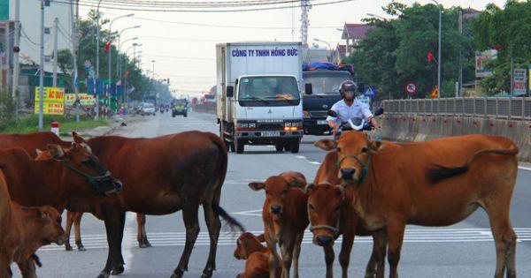 Điểm báo 13/12/2017: Hà Tĩnh: Chủ tịch Huyện đề nghị làm cầu vượt cho bò đi