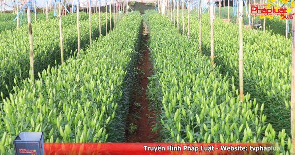 Đà Lạt: Nhà vườn trồng hoa tết lo lắng vì thời tiết diễn biến thất thường
