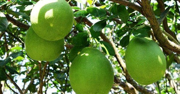 Vĩnh Long: Vùng Bưởi Năm Roi tấp nập, nhà vườn kiếm trăm triệu tiêu Tết