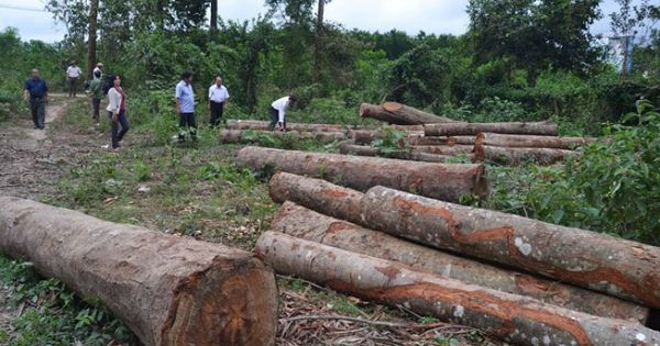 Tận thu rừng trồng dầu rái sai quy định