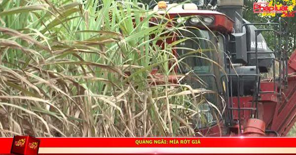 Quảng Ngãi: Mía rớt giá, nông dân trồng mía khốn đốn