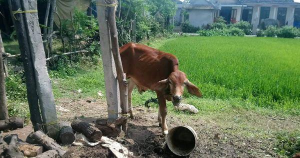 """Quảng Trị: Bò chính sách """"đi lạc"""" vào nhà cán bộ và lò mổ"""