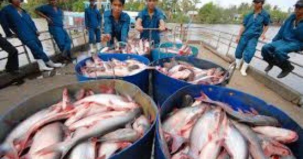 ASEAN thay thế vị trí EU trong nhập khẩu cá tra Việt Nam