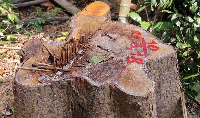 Quảng Nam: Truy nã hai nghi can cầm đầu vụ phá rừng lim cổ thụ