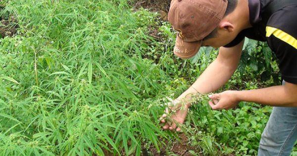 Đắk Nông: Công an phát hiện và tiêu hủy gần 1000 cây cần sa xanh