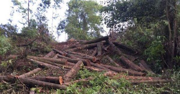 Bình Định: Khởi tố vụ khai thác hơn 100m3 gỗ trái phép