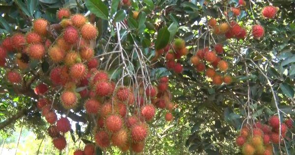Quảng Ngãi: Nâng cao giá trị cây ăn quả