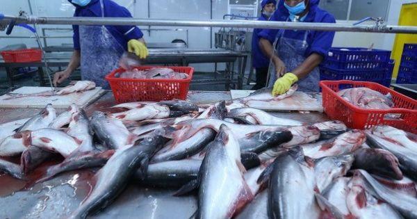 Cá tra Việt lo mất thị trường xuất khẩu