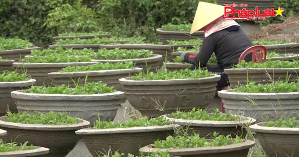 Quảng Ngãi: Vùng lũ vào vụ trồng hoa Tết