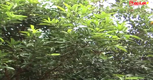 Quảng Ngãi: Xây dựng 500ha vùng chuyên canh cây quế Trà Bồng