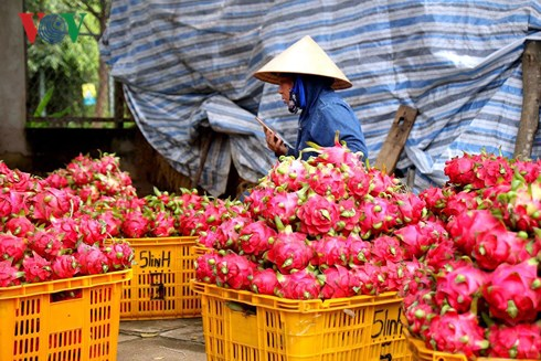 Giá thanh long giảm nhanh còn 1.500 đồng/kg, người trồng lỗ nặng