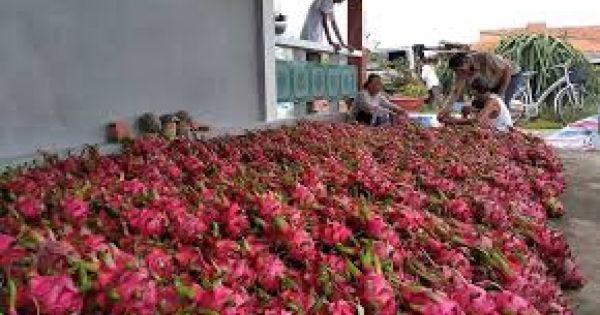Cục Bảo vệ thực vật bác tin thanh long rớt giá do Trung Quốc ngừng nhập