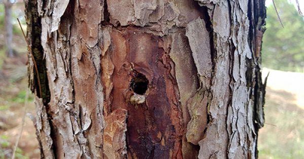 Gần 700 cây thông ở Lâm Đồng bị khoan lỗ, bơm thuốc độc
