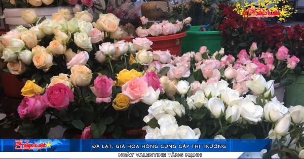 Đà Lạt: Giá hoa hồng cung cấp thị trường ngày Valentine tăng mạnh