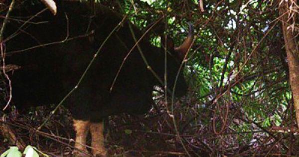 Lần đầu tiên chụp được ảnh bò tót ở Vườn quốc gia Phong Nha