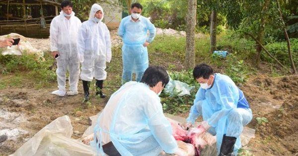 Thừa Thiên Huế: Phát hiện ổ dịch tả lợn châu Phi thứ hai