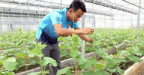 Chàng trai xứ Nghệ gác bằng đại học làm ông chủ vườn dưa