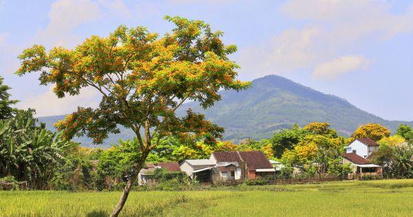 Mùa hoa sữa vàng đẹp như tranh ở xứ Quảng