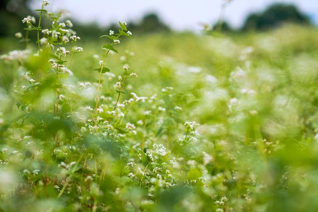 Mãn nhãn vườn hoa tam giác mạch gần 1 héc ta ở Hà Nội