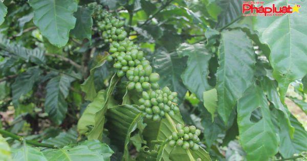 Tây Nguyên: Giá cà phê bất ngờ tăng nhẹ sau thời gian dài thấp giá