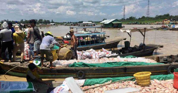 Công an vào cuộc điều tra nguyên nhân gần 340 tấn cá bè bị chết trên sông La Ngà
