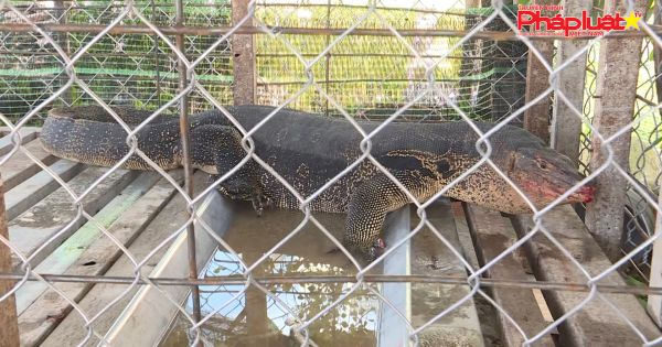 Long An: Người dân bắt được kỳ đà khủng nặng gần 30kg