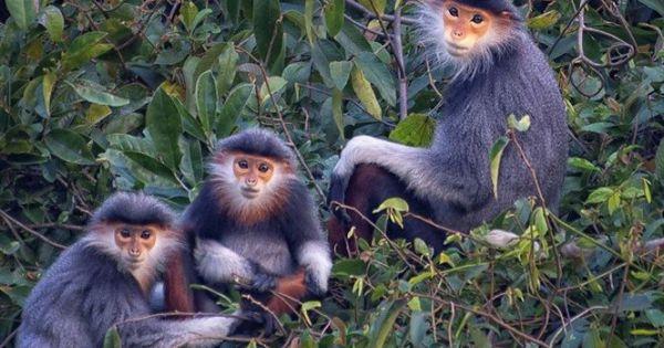 Dành 150 ha rừng để bảo tồn đàn voọc chà vá chân xám