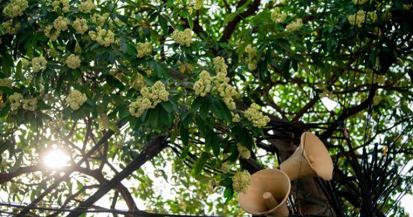 Di chuyển cây hoa sữa ra ngoại thành Hà Nội