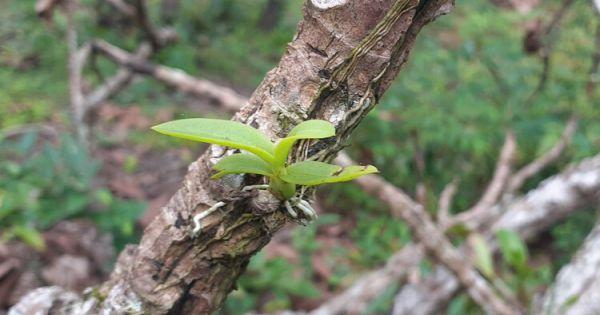Bình Thuận: Triệt hạ cây rừng để lấy lan
