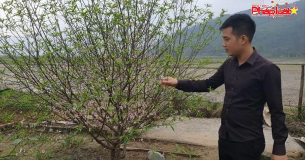 Hà Tĩnh: Đào Tết nở rộ, người trồng thiệt hại hàng trăm triệu đồng