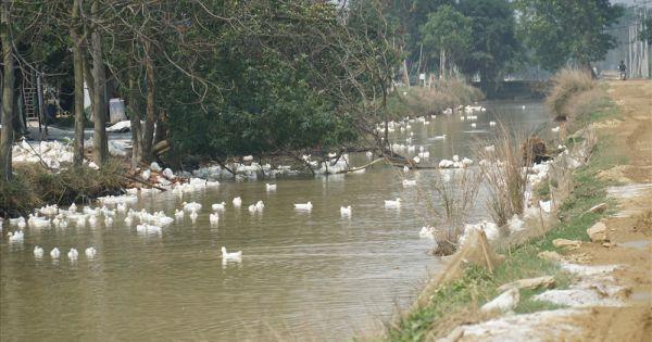 Hà Nội tiêu hủy gần 7.000 con gia cầm nhiễm cúm A H5N6