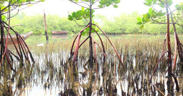 Khám phá rừng ngập mặn nguyên sinh Tam Giang, báu vật của Núi Thành