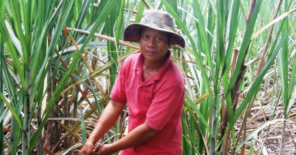Nông dân ĐBSCL phá bỏ hàng ngàn héc-ta ruộng mía