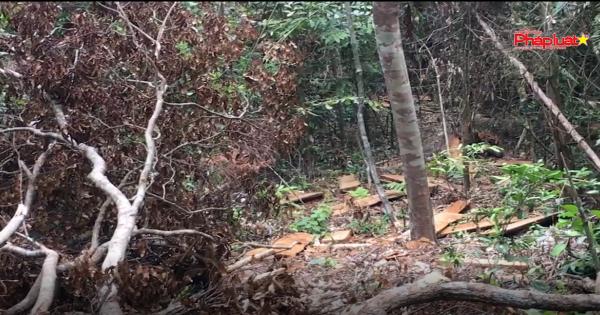 Phú Yên: Lâm tặc tàn phá rừng phòng hộ Hòn Đen sông Hinh