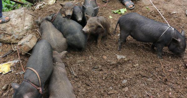 28 tỉnh thành có bệnh dịch tả lợn châu phi