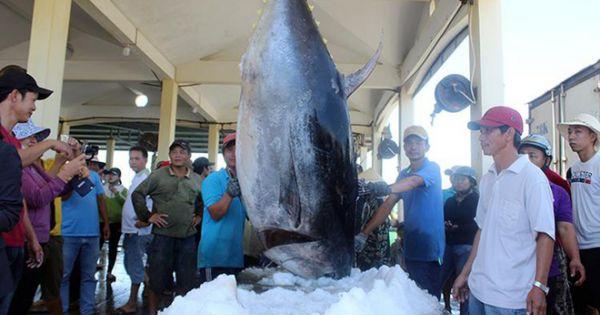 Cá ngừ xuất khẩu sang châu Âu tăng mạnh
