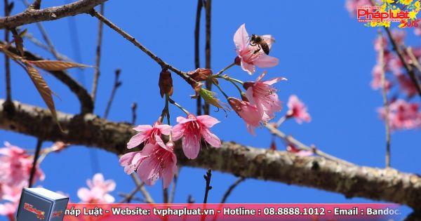Đà Lạt: Ngày hội hoa Anh Đào chính thức diễn ra ngày 26/01