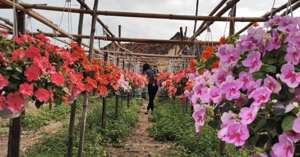 """Mê mẩn """"vườn hoa Tết Đà Lạt"""" giữa thành phố Tuy Hòa"""