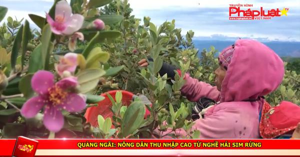 Quảng Ngãi: Nông dân thu nhập cao từ nghề hái sim rừng