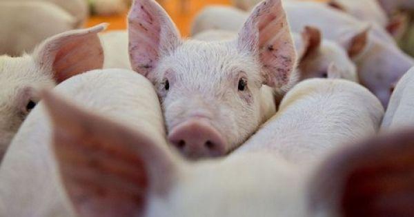 Điểm báo 31/08/2018: Ngăn chặn nguy cơ xâm nhiễm bệnh Dịch tả lợn Châu Phi vào Việt Nam
