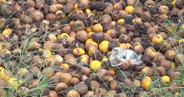 Nghệ An: Hàng trăm tấn cam thối hỏng ngay trước vụ thu hoạch