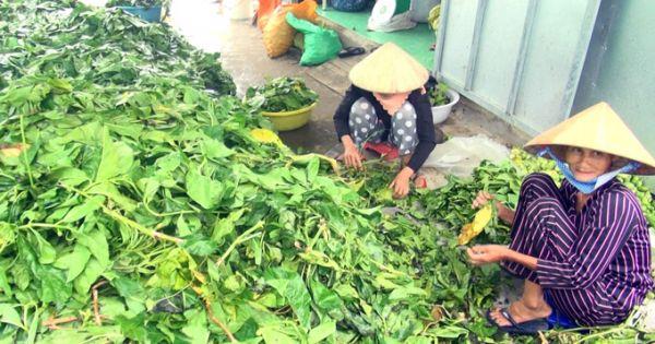 Cà Mau: Khuyến cáo người dân không nên mua bán lá nhàu