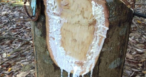 Điều tra vụ người tố cáo phá rừng bị chặt phá vườn cao su