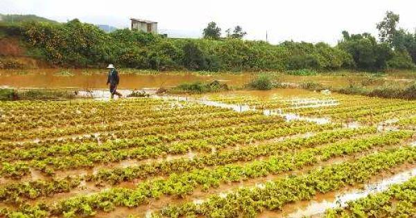 Hơn 70 ha rau ở Lâm Đồng ngập úng sau bão