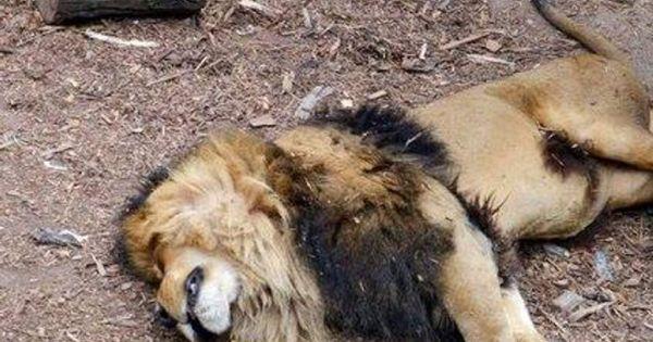 Nam Phi xét xử 6 người Việt vì nấu cao sư tử