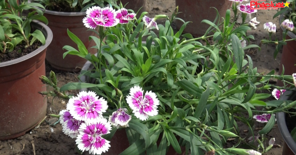 TP HCM: Sau cơn bão số 9, nhà vườn bắt đầu gieo trồng hoa Tết