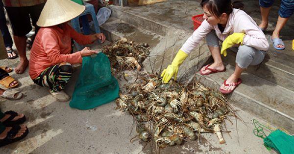 Tôm hùm ở Khánh Hòa chết hàng loạt, thiệt hại hơn 300 tỷ đồng